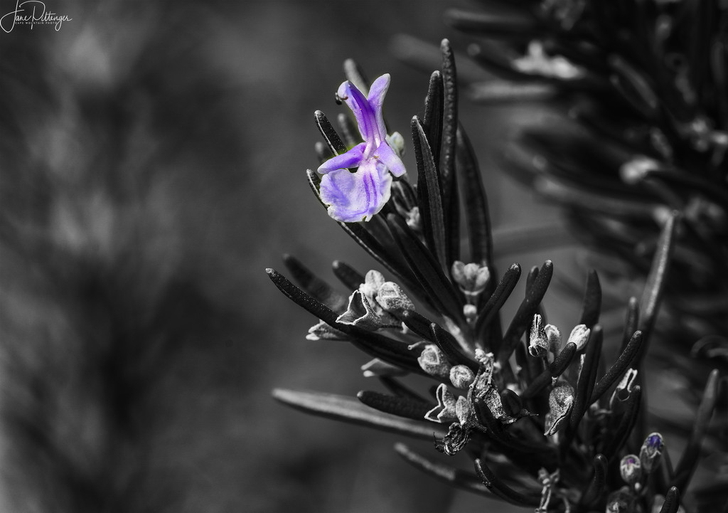 Rosemary  by jgpittenger