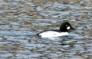 13th Jan 2019 - Common goldeneye duck