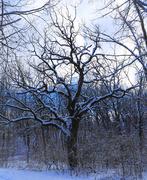 13th Jan 2019 - snow tree
