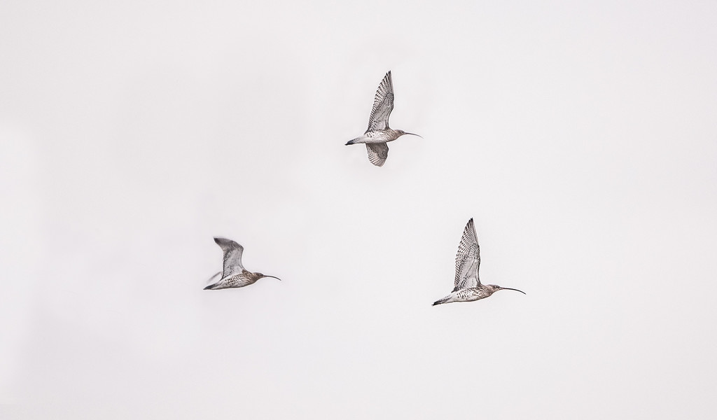 Three curlews by inthecloud5