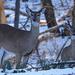 Deer by annepann