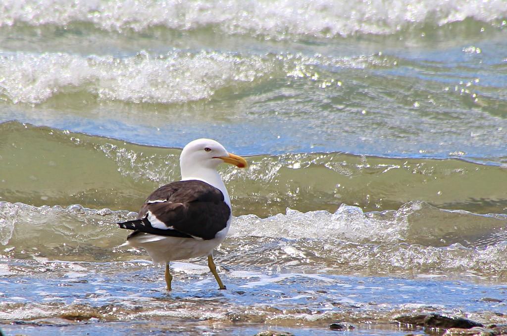 Black back gull by kiwinanna