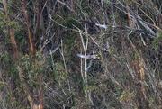 13th Jan 2019 - Bald Eagle and Peregrine Falcon