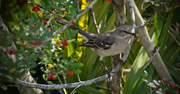 13th Jan 2019 - Mockingbird With a Snack!