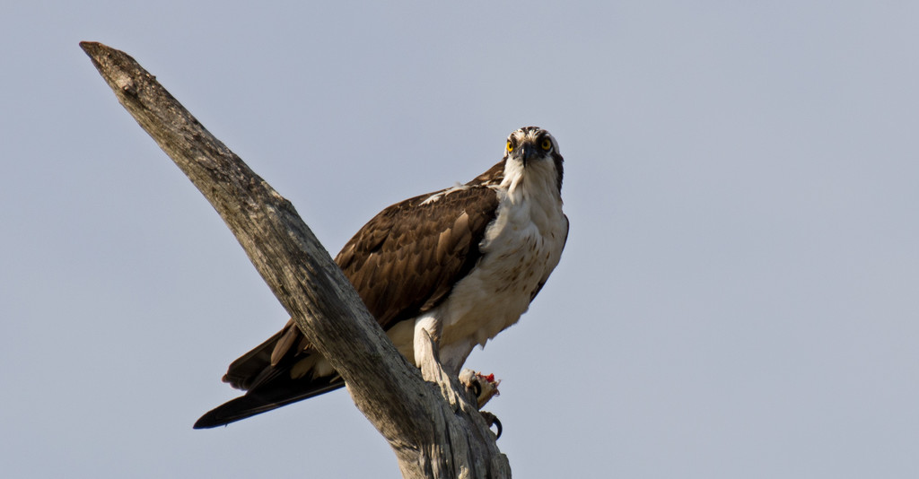 Osprey With it's Lunch! by rickster549