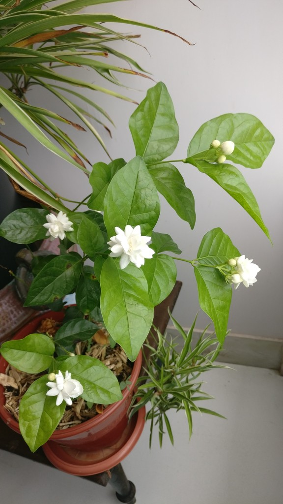 The fragrance of the mogra flowers by veengupta