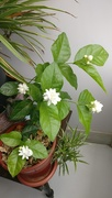 7th Jan 2019 - The fragrance of the mogra flowers