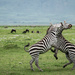 Zebra Foreplay by taffy