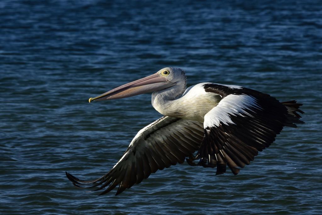 Pelican Fly By _DSC4286 by merrelyn