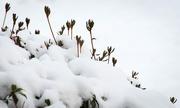 14th Jan 2019 - Snow on my Pieris bush