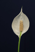 14th Jan 2019 - Peace lily