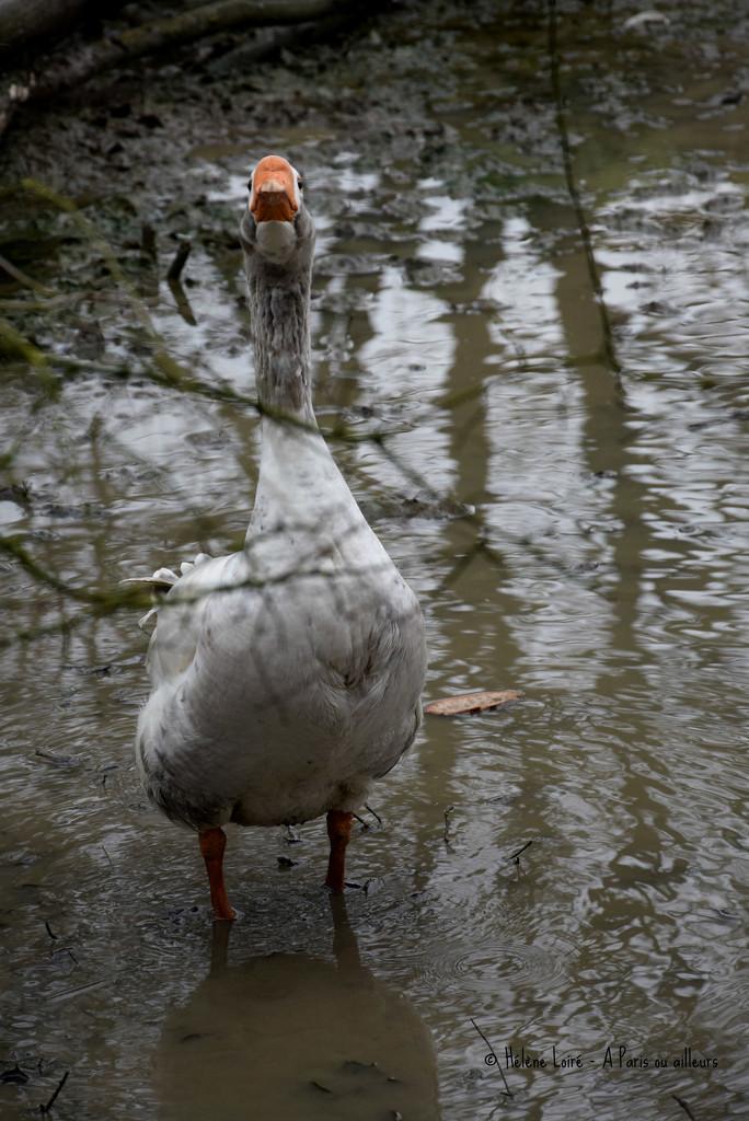 Goose by parisouailleurs