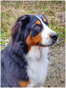 14th Jan 2019 - Just had to take a pic of this Bernese mountain dog we met called Willow. Only 10 months old and gorgeous