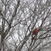 Cardinal in icy tree