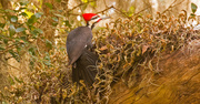 14th Jan 2019 - Pileated Woodpecker!