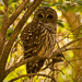 Barred Owl Awake!