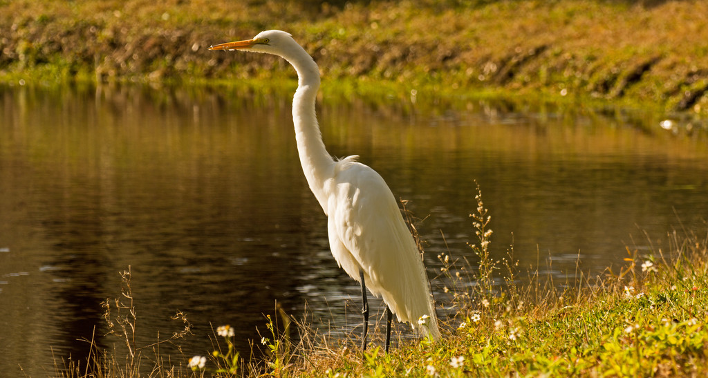 Egret on the Lakeside! by rickster549