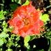 Mokra ružica