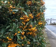 15th Jan 2019 - Abundance of berries