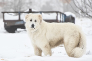 15th Jan 2019 - Great Pyrenees
