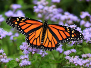 21st Sep 2018 - The Unmistakable Monarch