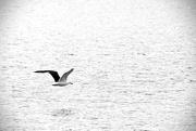 10th Jan 2019 - Flight of the gull