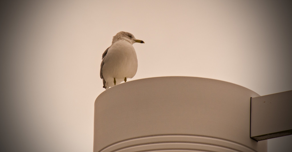 Seagull on the Lamppost! by rickster549