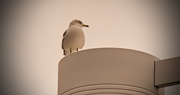 15th Jan 2019 - Seagull on the Lamppost!
