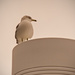 Seagull on the Lamppost!