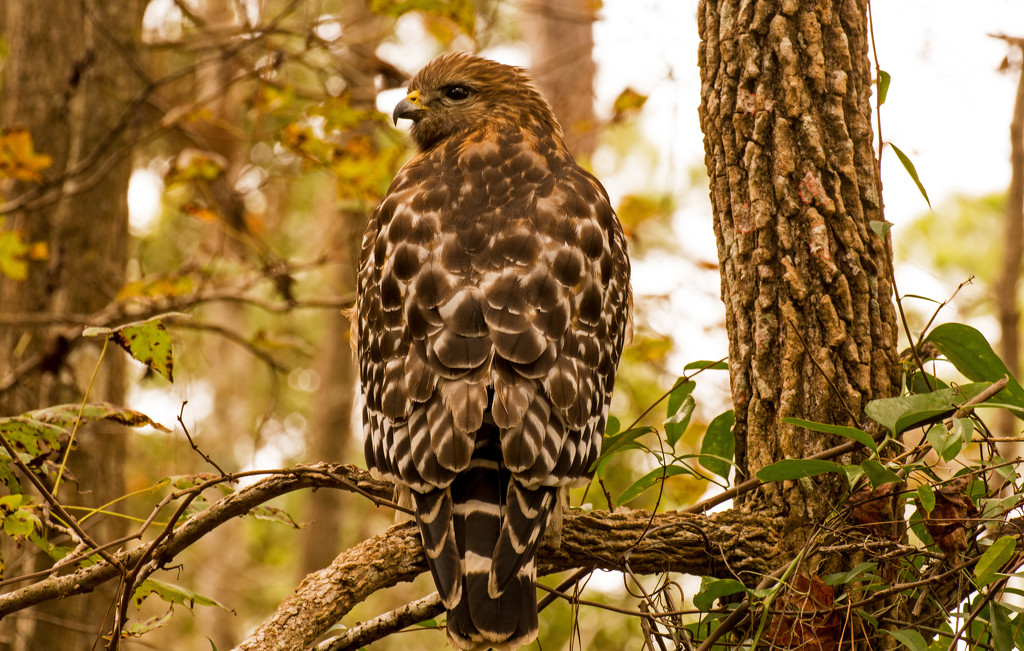 Red Shouldered Hawk Just Hanging Out! by rickster549