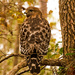 Red Shouldered Hawk Just Hanging Out!