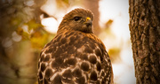 15th Jan 2019 - Being Checked Out by This Red Shouldered Hawk!