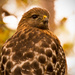 Being Checked Out by This Red Shouldered Hawk!