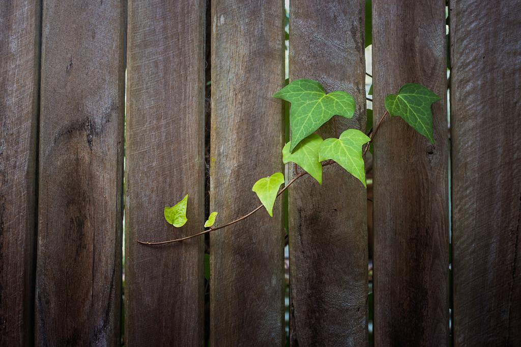 Ivy  by jodies