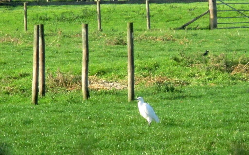 Little Egret by g3xbm