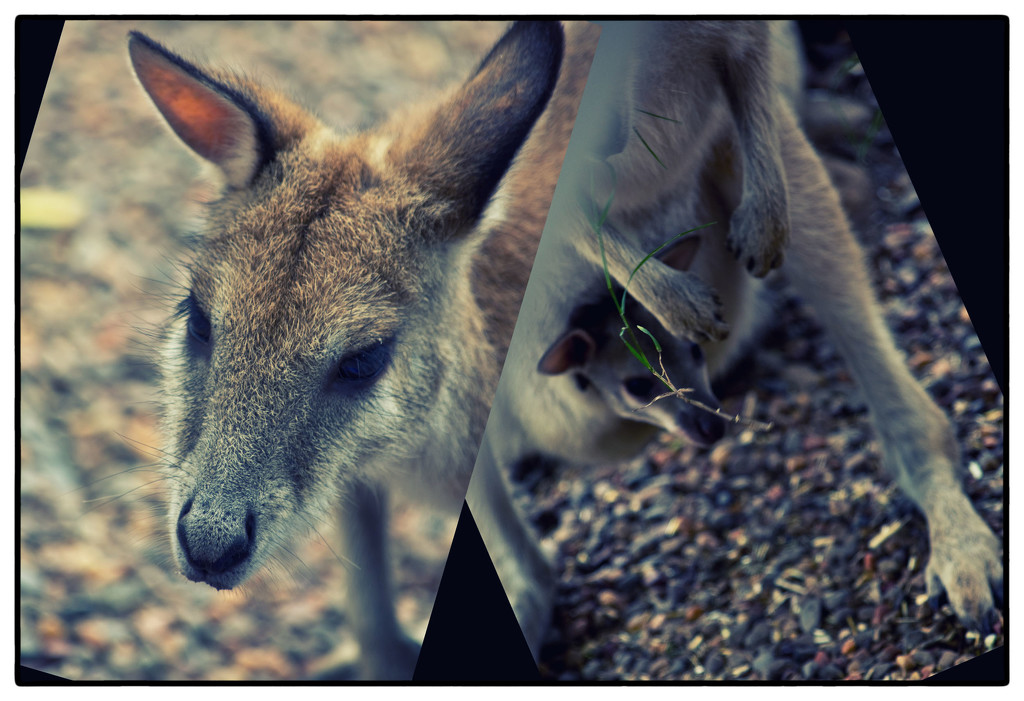 Agile Wallaby with joey by annied