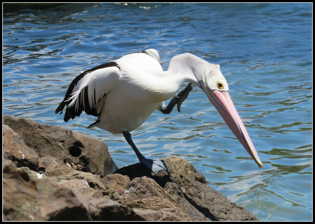 Pelican shaking his head by loey5150