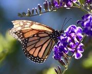16th Jan 2019 - A Battered, Backlit Butterfly _DSC4403