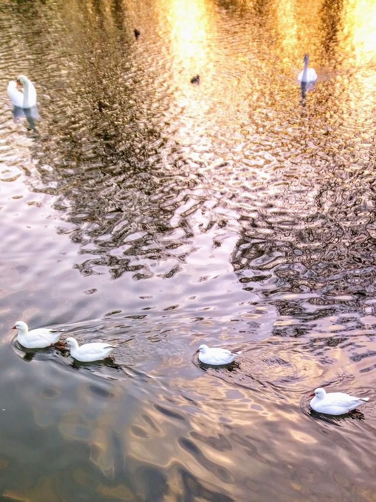 White ducks  by boxplayer