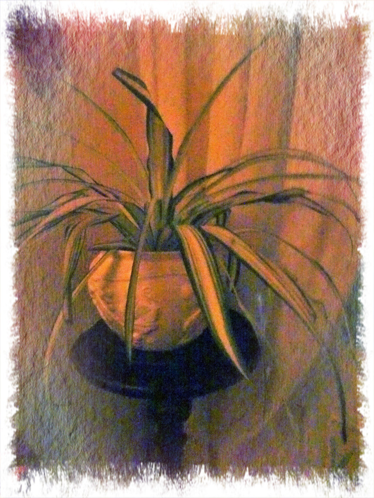 Spider Plant by beryl