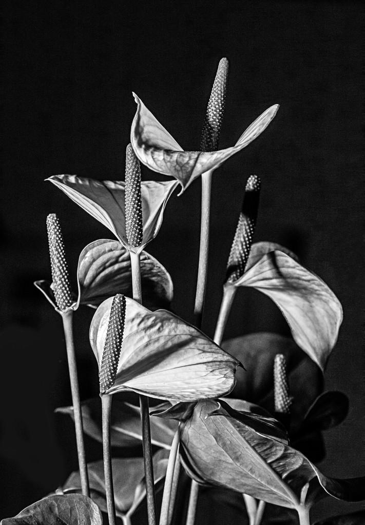 Anthurium... by vignouse