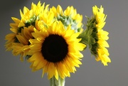 15th Jan 2019 - Sunshine On Sunflowers