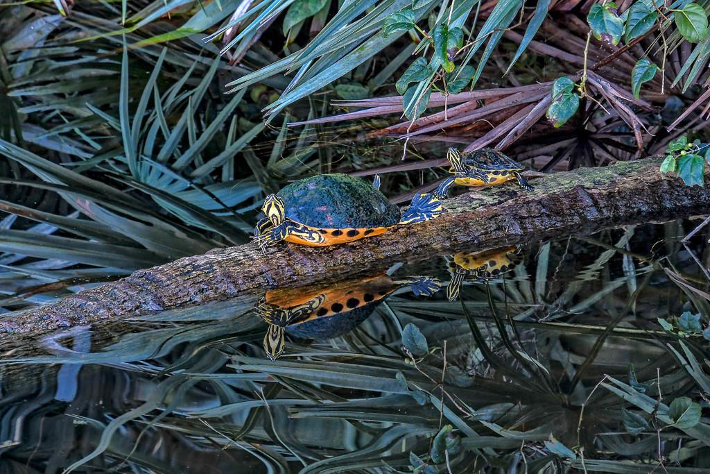 Pair of turtles by danette