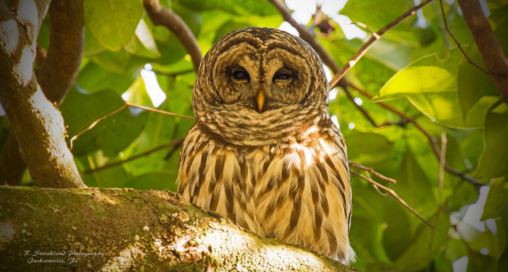 Todays Barred Owl, With Eye's Wide Open! by rickster549