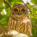 Todays Barred Owl, With Eye's Wide Open!