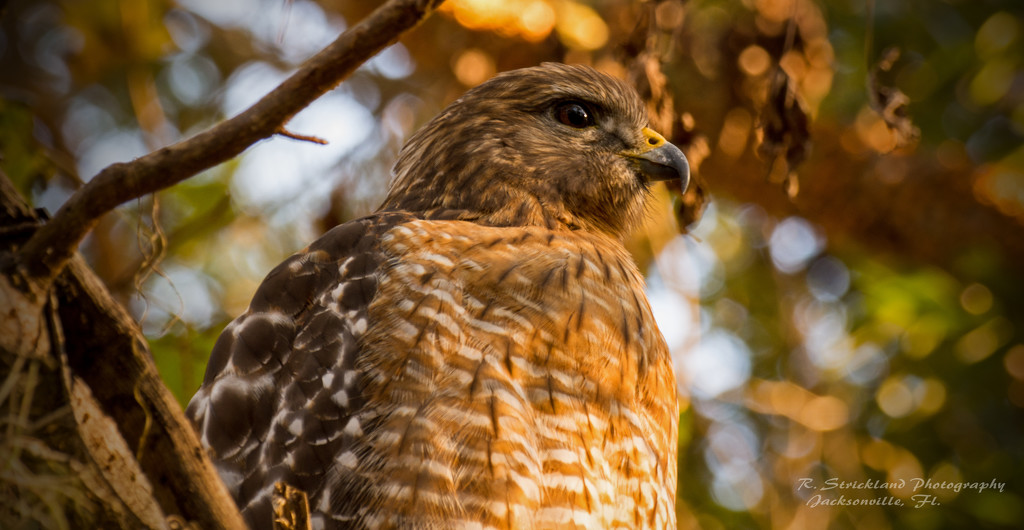 My Red Shouldered Hawk Again! by rickster549