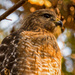 My Red Shouldered Hawk Again!
