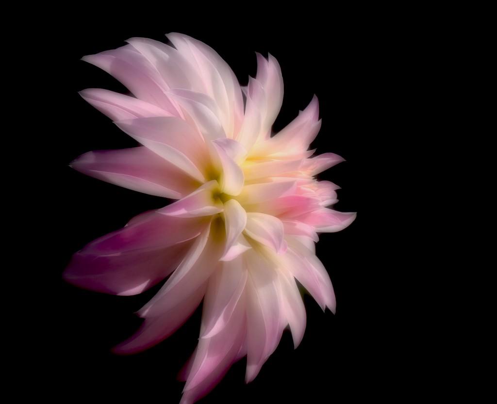 Soft focus dahlia by maureenpp