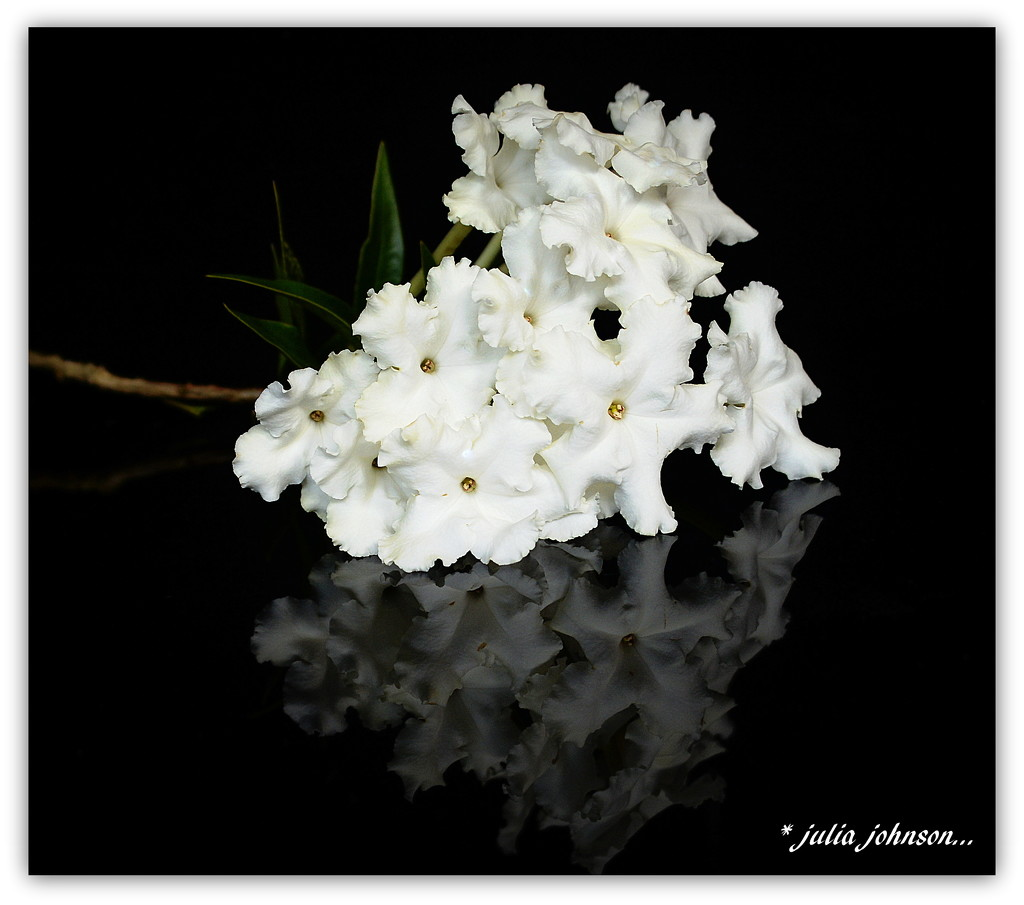 Brunfelsia Undulata White Caps/ Fragrant Earth by julzmaioro