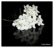 17th Jan 2019 - Brunfelsia Undulata White Caps/ Fragrant Earth